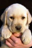 Filhote de cachorro 3 do retriever de Labrador Fotografia de Stock Royalty Free