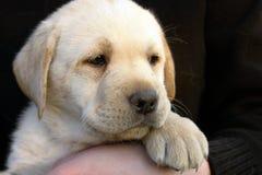 Filhote de cachorro 4 do retriever de Labrador Foto de Stock