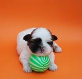 Filhote de cachorro Fotografia de Stock