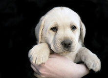 Filhote de cachorro 6 do retriever de Labrador Imagens de Stock