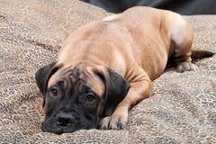 Filhote de cachorro 61 de Bullmastiff Imagem de Stock Royalty Free