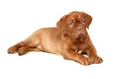 Filhote de cachorro. Imagens de Stock Royalty Free