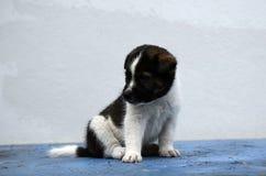 Filhote de cachorro Imagem de Stock