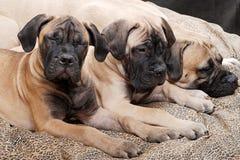 Cachorrinho 89 de Bullmastiff Fotos de Stock Royalty Free