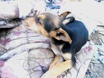 Filhote de cachorro Fotos de Stock
