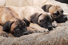 Filhote de cachorro 90 de Bullmastiff Foto de Stock