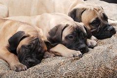 Filhote de cachorro 93 de Bullmastiff Imagem de Stock
