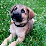 Filhote de cachorro Foto de Stock