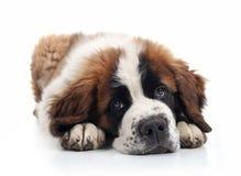 Filhote de cachorro adorável de Bernard de Saint que encontra-se para baixo Fotos de Stock Royalty Free