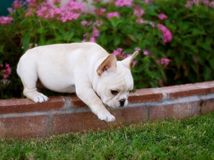 Filhote de cachorro adorável do buldogue francês Imagem de Stock Royalty Free