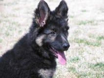 Filhote de cachorro alemão de Shepard Foto de Stock
