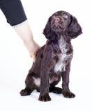 Filhote de cachorro alemão do cão do wachtel, 9 semanas velho Fotografia de Stock Royalty Free