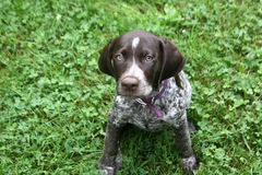 Filhote de cachorro alemão do cabelo curto Foto de Stock
