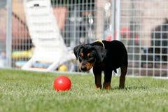 Filhote de cachorro alemão do pincher Imagens de Stock
