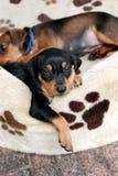 Filhote de cachorro alemão do pinscher Fotos de Stock Royalty Free