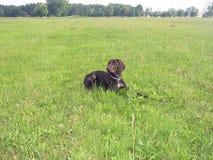 Filhote de cachorro alemão do ponteiro de cabelos curtos Foto de Stock
