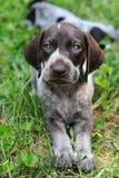 Filhote de cachorro alemão do ponteiro de cabelos curtos Fotografia de Stock Royalty Free