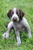 Filhote de cachorro alemão do ponteiro de cabelos curtos Imagens de Stock Royalty Free