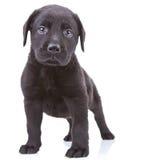 Filhote de cachorro alerta do retriever de Labrador Imagens de Stock Royalty Free