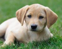 Filhote de cachorro amarelo de Labrador no gramado Fotografia de Stock