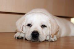 Filhote de cachorro amarelo de Labrador que coloca no assoalho imagens de stock