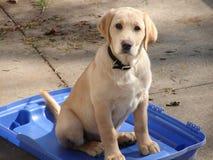 Filhote de cachorro amarelo do laboratório Imagem de Stock