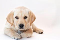 Filhote de cachorro amarelo do laboratório Imagens de Stock Royalty Free