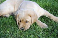 Filhote de cachorro amarelo do Retriever de Labrador Imagens de Stock Royalty Free
