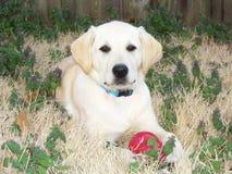 Filhote de cachorro amarelo do Retriever de Labrador Fotos de Stock Royalty Free