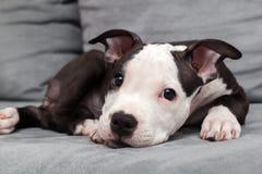 Filhote de cachorro americano de Staffordshire Imagens de Stock