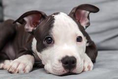 Filhote de cachorro americano de Staffordshire Foto de Stock