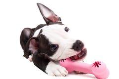 Filhote de cachorro americano de Staffordshire Foto de Stock Royalty Free