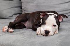 Filhote de cachorro americano de Staffordshire Imagem de Stock