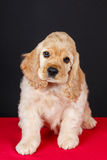 Filhote de cachorro americano do spaniel de cocker Imagens de Stock Royalty Free