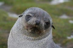 Filhote de cachorro antárctico do lobo-marinho em Continente antárctico Fotografia de Stock Royalty Free