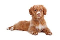 Filhote de cachorro anunciando do Retriever do pato de Nova Escócia Foto de Stock Royalty Free