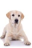 Filhote de cachorro assentado Labrador fotos de stock