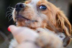 Filhote de cachorro atrás de uma cerca Fotos de Stock Royalty Free