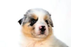 Filhote de cachorro australiano azul do pastor de Merle Fotos de Stock Royalty Free