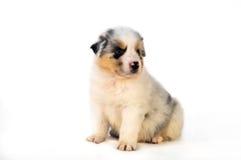 Filhote de cachorro australiano azul do pastor de Merle Fotografia de Stock
