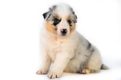 Filhote de cachorro australiano azul do pastor de Merle Foto de Stock