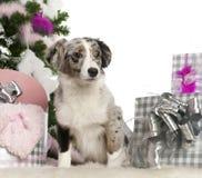 Filhote de cachorro australiano diminuto do pastor, 5 meses Imagem de Stock Royalty Free