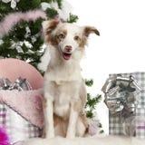 Filhote de cachorro australiano diminuto do pastor, o 1 anos de idade Imagem de Stock