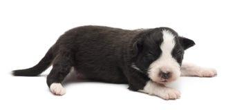 Filhote de cachorro australiano do pastor, 14 dias velho, encontrando-se Fotos de Stock Royalty Free
