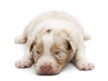 Filhote de cachorro australiano do pastor, 14 dias velho, encontrando-se Imagens de Stock
