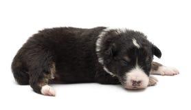 Filhote de cachorro australiano do pastor, 14 dias velho, encontrando-se Fotos de Stock