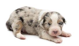 Filhote de cachorro australiano do pastor, 14 dias velho, encontrando-se Imagem de Stock Royalty Free