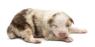 Filhote de cachorro australiano do pastor, 14 dias velho, encontrando-se Imagens de Stock Royalty Free
