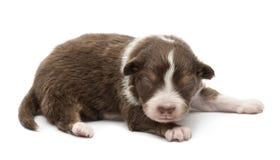 Filhote de cachorro australiano do pastor, 14 dias velho, encontrando-se Fotografia de Stock