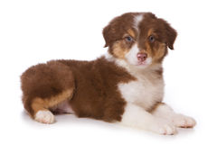Filhote de cachorro australiano do pastor Foto de Stock Royalty Free
